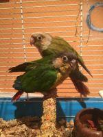 Conure Birds for sale in Victoria, VA 23974, USA. price: NA