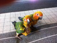 Conure Birds for sale in Sacramento, CA, USA. price: NA