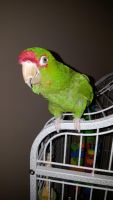 Conure Birds for sale in Bristol, VA, USA. price: NA