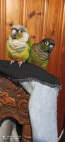Conure Birds Photos