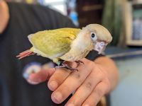 Conure Birds for sale in Matawan, NJ 07747, USA. price: NA
