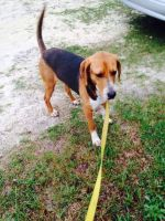 Coonhound Puppies for sale in Sweetwater, TN 37874, USA. price: NA
