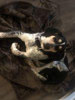 Coonhound Puppies Photos
