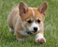 Corgi Puppies for sale in Virginia Beach Blvd, Virginia Beach, VA, USA. price: NA