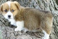 Corgi Puppies for sale in 17598 147th St, Glenwood, MN 56334, USA. price: NA