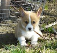 Corgi Puppies for sale in San Diego, CA, USA. price: NA