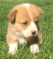 Corgi Puppies for sale in Florida City, FL, USA. price: NA