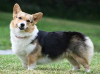 Corgi Puppies for sale in Virginia Beach, VA, USA. price: NA