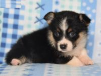 Corgi Puppies for sale in Boston, MA, USA. price: NA