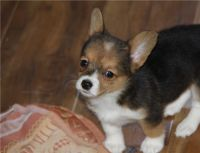 Corgi Puppies for sale in Seattle, WA, USA. price: NA