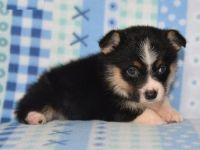 Corgi Puppies for sale in Newark, NJ, USA. price: NA