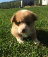 Corgi Puppies for sale in GA-85, Atlanta, GA, USA. price: NA