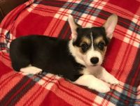 Corgi Puppies for sale in Austin, TX, USA. price: NA