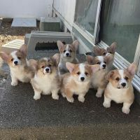 Corgi Puppies for sale in Los Angeles, CA, USA. price: NA