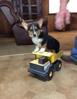 Corgi Puppies for sale in Bristol, CT 06010, USA. price: NA