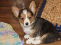 Corgi Puppies for sale in Seattle, WA 98111, USA. price: NA