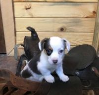 Corgi Puppies for sale in Jacksonville, FL, USA. price: NA
