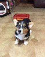 Corgi Puppies for sale in Pittsboro, IN 46167, USA. price: NA