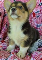 Corgi Puppies for sale in Morgan City, MS, USA. price: NA