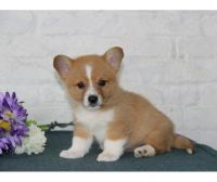 Corgi Puppies for sale in Central Ave, Jersey City, NJ, USA. price: NA