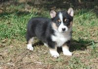 Corgi Puppies for sale in Monticello, AR 71655, USA. price: NA