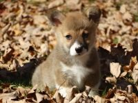 Corgi Puppies for sale in Redlands, CA, USA. price: NA