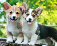 Corgi Puppies for sale in Tallahassee, FL, USA. price: NA