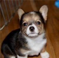 Corgi Puppies for sale in Benton, IL 62812, USA. price: NA
