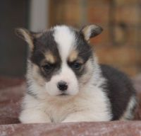 Corgi Puppies for sale in Irvine, CA, USA. price: NA