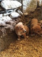 Corgi Puppies for sale in Indianapolis, IN 46201, USA. price: NA