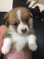 Corgi Puppies for sale in 11 Centre St, New York, NY 10007, USA. price: NA