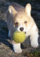 Corgi Puppies for sale in Grand Rapids, MI, USA. price: NA