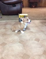 Corgi Puppies for sale in Marietta, GA 30008, USA. price: NA