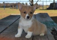 Corgi Puppies for sale in Philadelphia, PA 19116, USA. price: NA