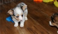 Corgi Puppies for sale in Bowie, MD, USA. price: NA