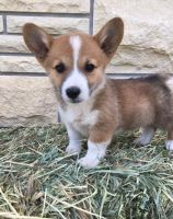 Corgi Puppies for sale in Russell Springs, KY 42642, USA. price: NA