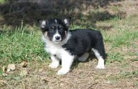 Corgi Puppies for sale in Longview, TX, USA. price: NA