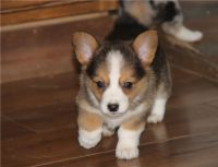Corgi Puppies for sale in Decker, MT 59025, USA. price: NA
