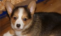 Corgi Puppies for sale in Barstow, MD 20610, USA. price: NA