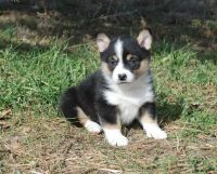 Corgi Puppies for sale in New Orleans, LA 70116, USA. price: NA