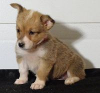 Corgi Puppies for sale in Rutland, VT 05701, USA. price: NA