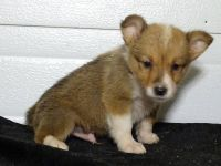 Corgi Puppies for sale in Dallas, TX, USA. price: NA
