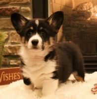 Corgi Puppies for sale in San Francisco, CA, USA. price: NA