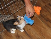 Corgi Puppies for sale in Manilla, IN 46150, USA. price: NA