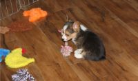 Corgi Puppies for sale in Columbia, SC, USA. price: NA