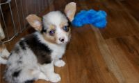 Corgi Puppies for sale in Alabaster, AL, USA. price: NA