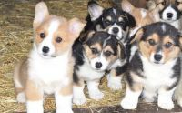 Corgi Puppies for sale in Tulsa, OK, USA. price: NA