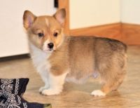 Corgi Puppies for sale in Nebraska City, NE 68410, USA. price: NA