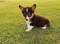 Corgi Puppies for sale in US Hwy 19 N, Pinellas Park, FL, USA. price: NA