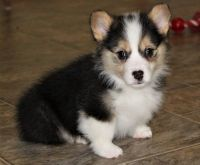 Corgi Puppies for sale in Macomb, MI 48042, USA. price: NA